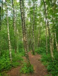A footpath through a forest of younger birch trees during a sunny summer day in Europe. Birch tree stems and lush green foliage.