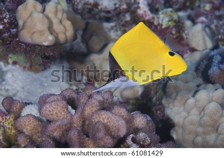 A forceps butterfly fish searchng the reef for a morsel of food.