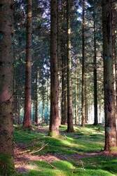 A forest full of pine trees sitting on moss covered soil.