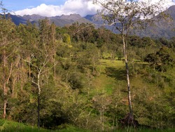 A forest of alder and eucalyptus tree at a valley in the central Andean mountains of Colombia, near the town of Arcabuco in the department of Boyaca.