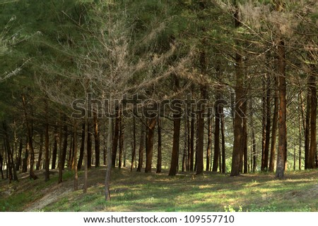 a forest of coniferous pine trees