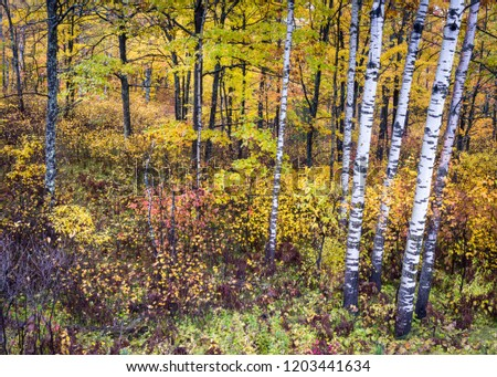 A forest of deciduous birch, oak and maple trees put on a colorful autumn show in the Northwoods of northern Wisconsin, USA. #1203441634