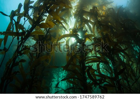 A forest of Giant kelp, Macrocystis pyrifera, grows in the cold eastern Pacific waters that flow along the California coast. Kelp forests support a surprising and diverse array of marine biodiversity. Stock photo ©