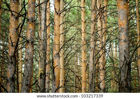 a forest of pine trees