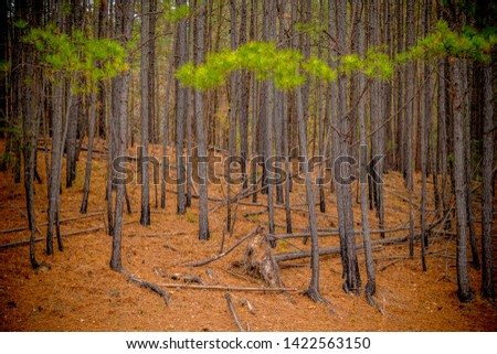 A forest of pine trees clustered together with piles of pine needles lying on the ground