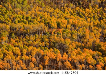 A forest of yellow aspen during Fall in Colorado