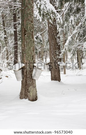 A forest scene of trees being tapped for sap with pails hanging off them.