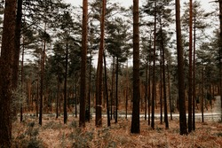A forest scenery with pinewood and a road in the background. Outdoor nature image on an overcast day in the United Kingdom. Swinley Forest, Berkshire, Bracknell Forest.