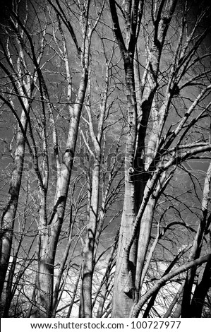 A forest with linden trees in black and white