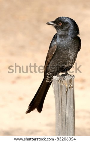 A fork tailed drongo