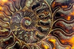 A fossilized gemstone ammolite cross-section displays texture.Nautilus of 2 mil. years old.