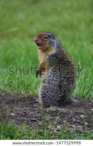 A fox squirrel, Sciurus niger, eastern fox squirrel, Bryant's fox squirrel, tree squirrel sits upright on a gravel path in a green field looks cute chirping with its front paws crossed over each other