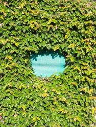 A fragment of the blue cracked surface of the fence peeping through the thicket of ivy