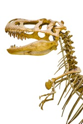 a fragment of the skeleton of Tyrannosaurus rex on white background isolated