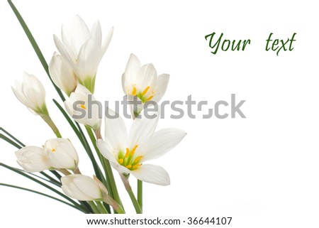 a fragment of white lilies ' bunch on a white background. zephyranthes candida