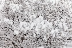 A fragment of winter nature, december forest. Bushes covered with snow after a snowfall.
