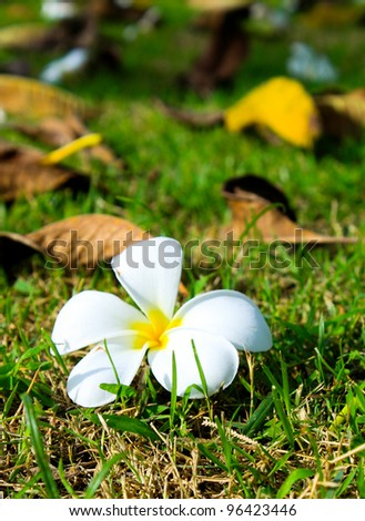 A frangipani flower on lawn