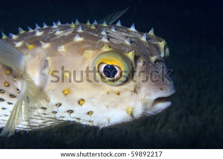 A Freckled Porcupinefish with a confused and slightly angry look on its face