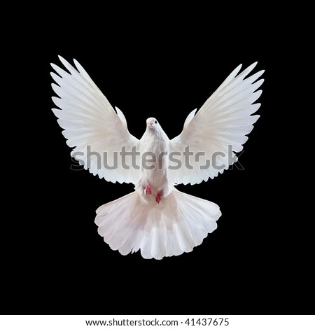 A free flying white dove isolated on a black background #41437675