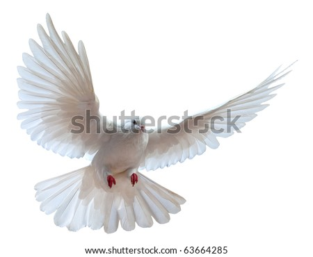 A free flying white dove isolated on a white background #63664285