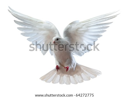 A free flying white dove isolated on a white background #64272775