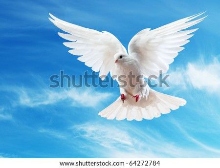 A free flying white dove isolated on a white background #64272784