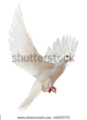 A free flying white dove isolated on a white background #66203731