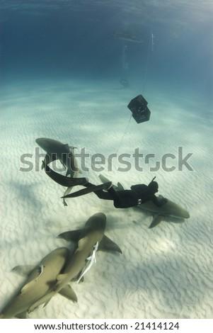 A freediver swims down to pet a lemon shark (Negaprion brevirostris) swimming along the ocean floor