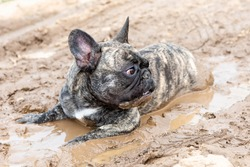 A French bulldog lies in wet brown mud in hot summer. In summer, dogs are very hot.
