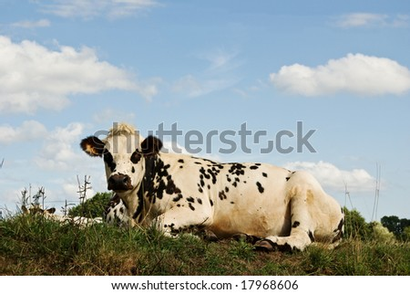A French cow relaxes in the summer sun