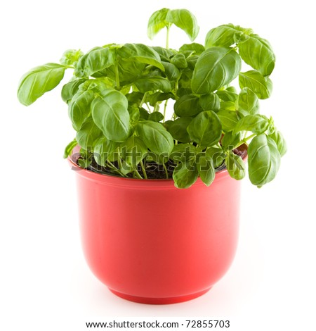 A fresh basil plant in a red plant pot