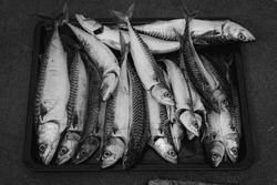 A fresh catch of mackerel on a tray. Black and white picture