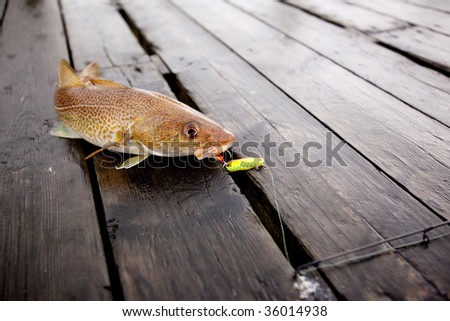 A fresh caught cod fish with hook in it's mouth