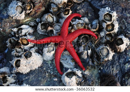 A fresh red starfish on seaside barnacles