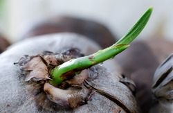 A fresh sprout of coconut tree, It start from mother coconut to growing in future.