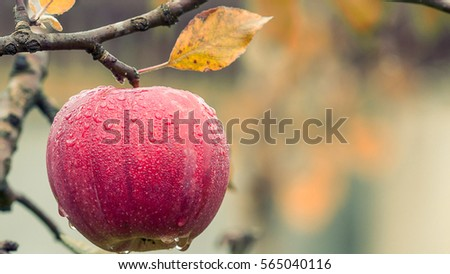 A fresh wet red apple in the tree