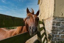 A friendly brown horse sticking its head through a hole in the fence. Next to an old yellow barn with stone foundation, this mare welcomes visitors to the farm.