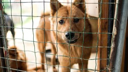 A friendly curious stray dog behind the fence, dog shelter with cages in Asia, stolen pet for food market, animals rights, China, pet rescue center, human's best friends, loyalty