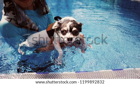 Stock Photo A friendly dog, cute chiwawa, white and black colored is swimming in the blue pool, getting a soft exercise. Water therapy is a good healing and comfortable relaxing activity. Summer activity.