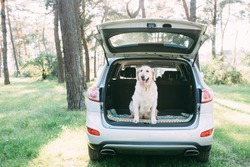 A friendly dog retriver is sitting in the trunk of a white car