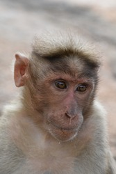 A friendly, handicapped monkey which is separated from its group.