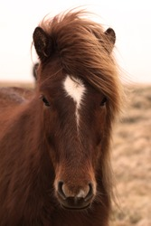 A friendly Icelandic horse. They are small, at times pony-sized, and get along great with humans.