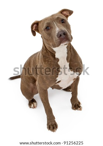 A friendly looking Pit Bull dog sitting on a white backdrop