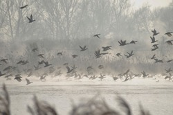 A frightened flock of ducks taking off from a misty pond.