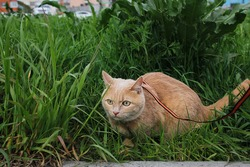 A frightened red cat on a leash sits in the green grass. Walking pets. Keeping pets.
