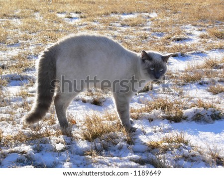 A frightened young purebred Lilac-point Siamese cat backlit by the morning sun.