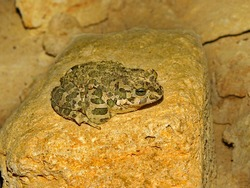 a frog in hibernation in an old underground odessa mine sitting on a yellow rock