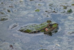 A frog in the lake water. The frog sits among the aquatic plants. Close up photo
