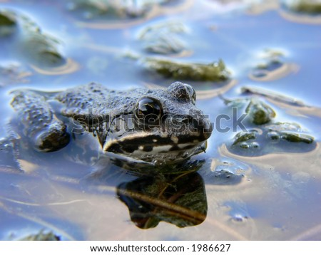 A frog in water. shallow depth of field with focus on eyes.