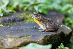 A Frog sitting on a rock in a garden pond surrounded by green leaves